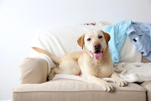 Ist es gut, den Hund auf das Sofa steigen zu lassen?