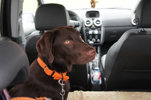 Sicherheitsgurt für Hunde!