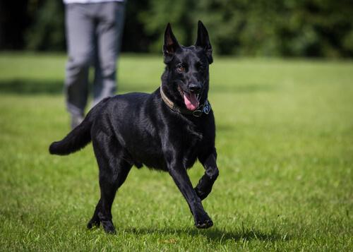 Die Schönheit von schwarzen Hunden