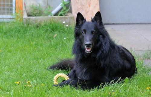Projekt der schwarzen Hunde