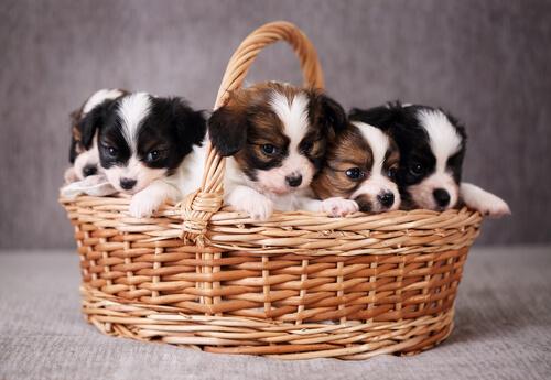 kleine Hunde im Korb aber nicht im Schaufenster