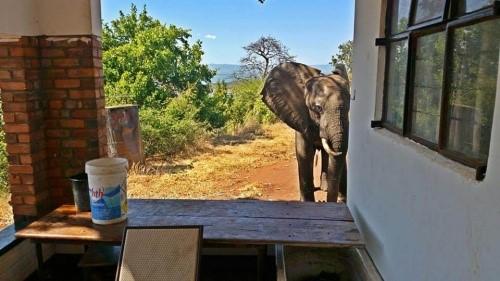 Angeschossener Elefant sucht Hilfe bei Menschen