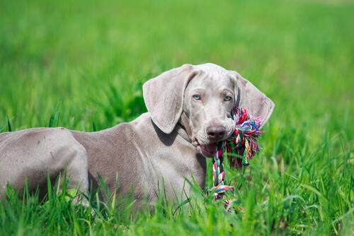 Hund spielt mit Spielsachen