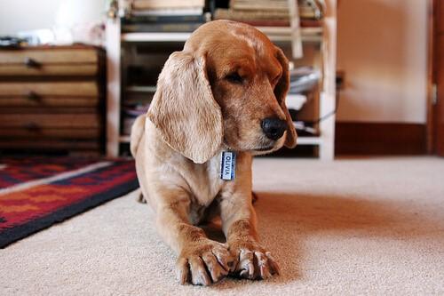 streunende Hunde adoptieren