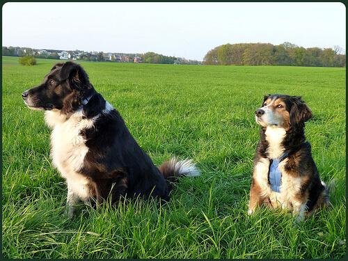Hunde auf der Wiese ohne Anzeichen für Notfall