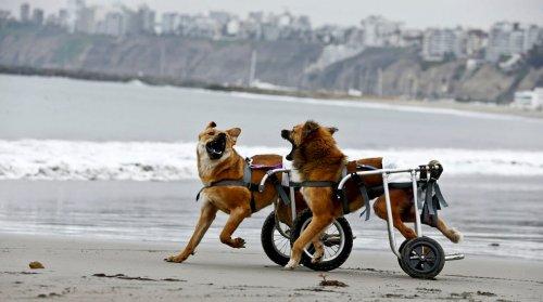 Peru eröffnet Tierheim für behinderte Hunde