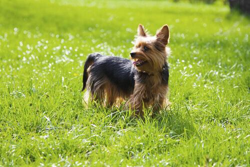 Yorkshire-Terrier auf der Wiese