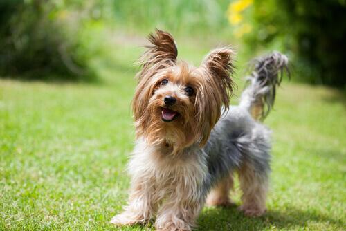 Yorkshire-Terrier: klein mit großem Charakter