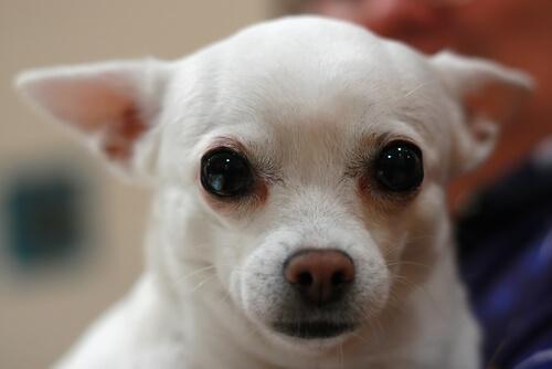 Wie reinigt man die Augen eines Hundes?
