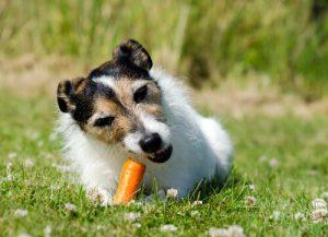 Hund liebt Karotten