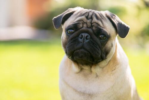 Hund mit hervorstechenden Augen