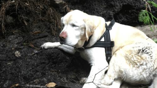 Ein blinder Labrador überlebt eine Woche im Wald