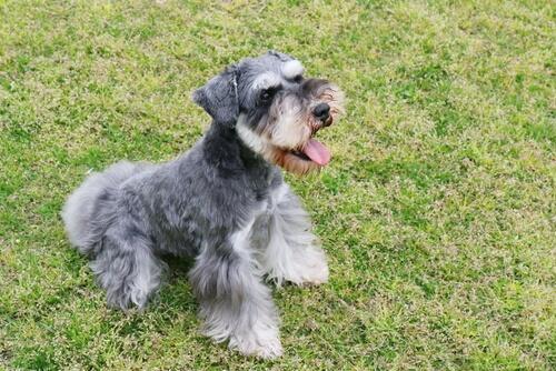 Hunde der Gruppe 2: Rasseklassifizierung nach FCI