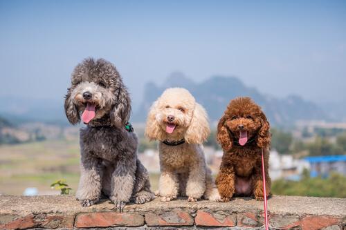 Hunde der Gruppe 8: Rasseklassifizierung nach FCI