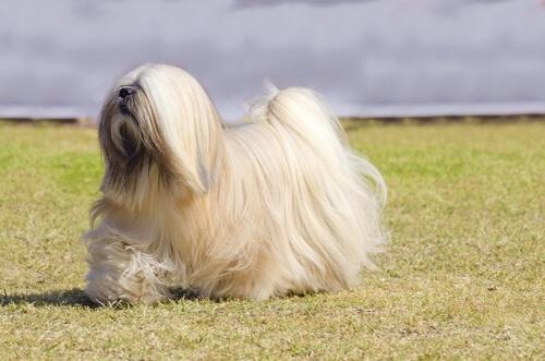 Hunde der Gruppe 9: Rasseklassifizierung nach FCI