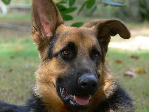 Es ist wichtig Hundeohren regelmäßig zu inspizieren.