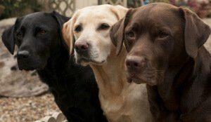 Hunderassen Labrador