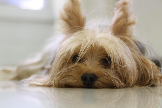 Auch der Yorkshire Terrier kann ohne Probleme in einer Wohnung gehalten werden.