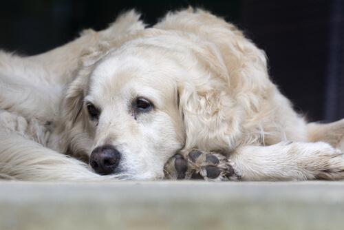 Bei Krankheiten von alten Hunden wollen diese oft das Haus nicht mehr verlassen.