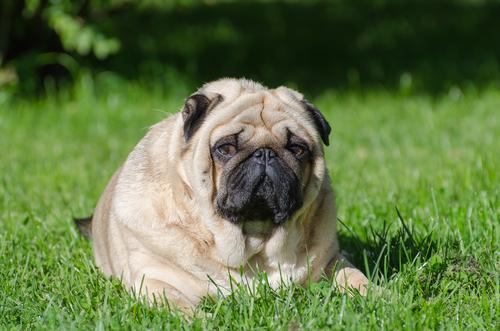 Fettleibigkeit ist eine Krankheit die oft bei alten Hunden auftritt.
