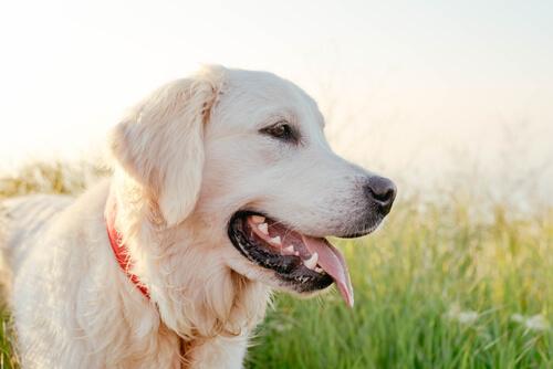 liebevolle Hunde Labrador