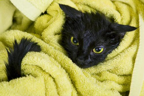 schwarze Katzen in Handtuch
