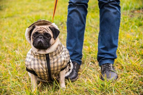 Aggressivität von Hunden durch übermäßige Behütung