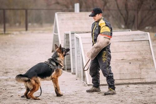 Der deutsche Schäferhund - Schäferhund beim Training