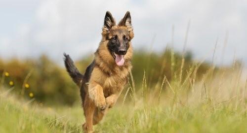Warum ist der Deutsche Schäferhund so ausgeglichen?