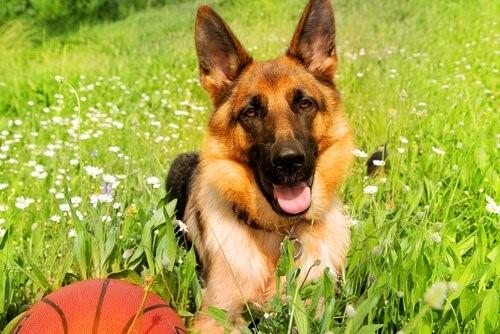 Der deutsche Schäferhund - Schäferhund spielt mit Ball
