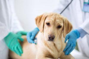 Die läufige Hündin - Hund beim Arzt