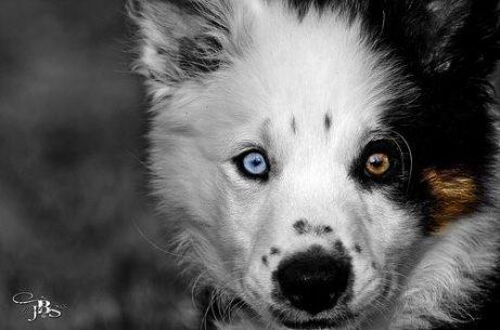 Dinge die dein Hund nicht mag - Hund mit blau-braunen Augen