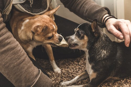 Eifersucht ist besonders bei kleinen Hunden ein Problem
