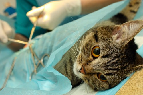 Frühsterilisation von Katzen