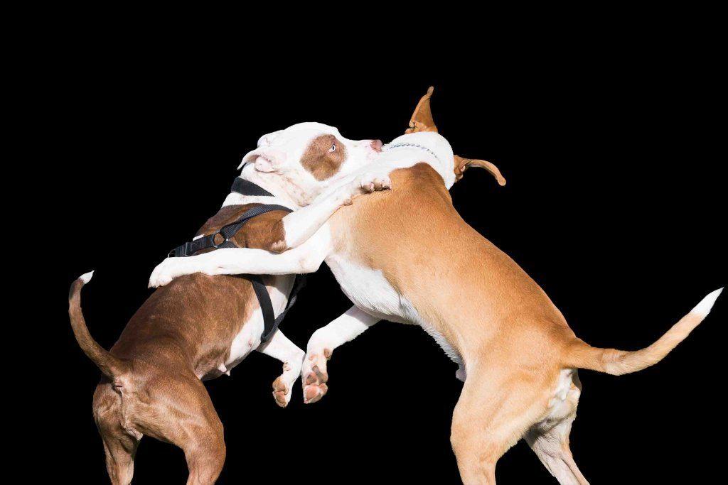 Was tun, wenn Hunde raufen?