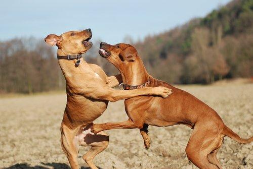 Wie verhält sich ein dominanter Hund?