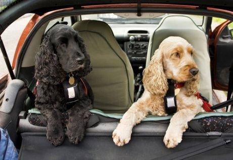 Autofahrt mit Hund: Sicherheitsgurt nicht vergessen!
