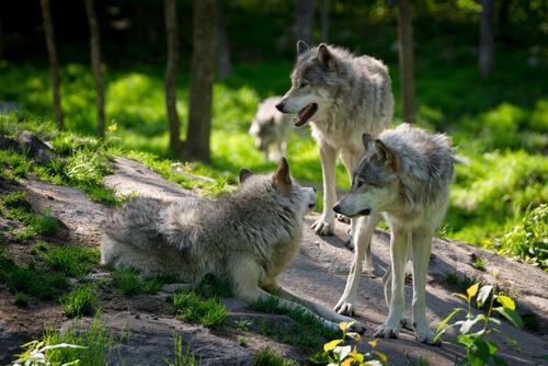 Bild eines Wolfsrudels