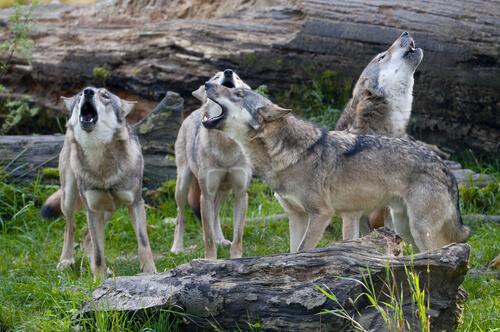 Verhalten eines Wolfsrudels
