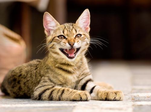 deine Katze spricht und lacht