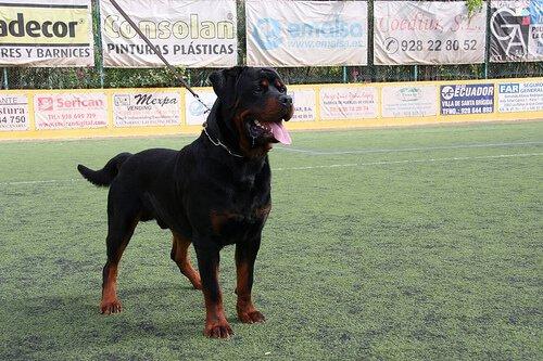 dominanter Hund auf der Wiese