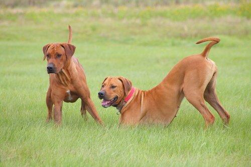 Dominanter Hund und Spielgefährte
