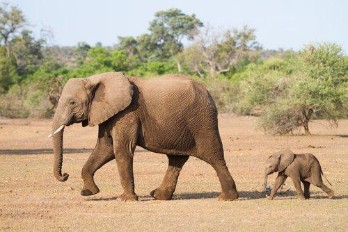 Elefant und Elefantenbaby