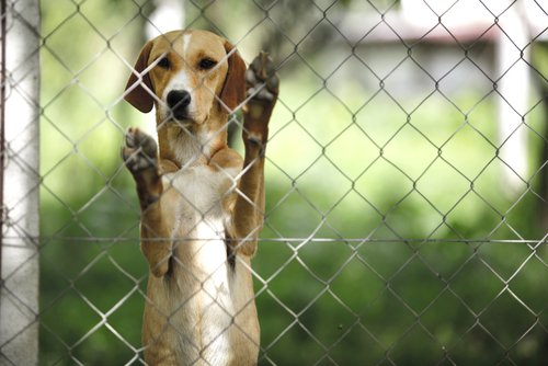 Hund für Hundefleisch-Festival