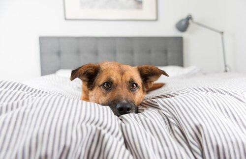 Hund liegt mit Ruhe im Bett