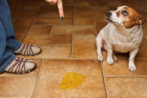 Hund pinkelt auf Boden