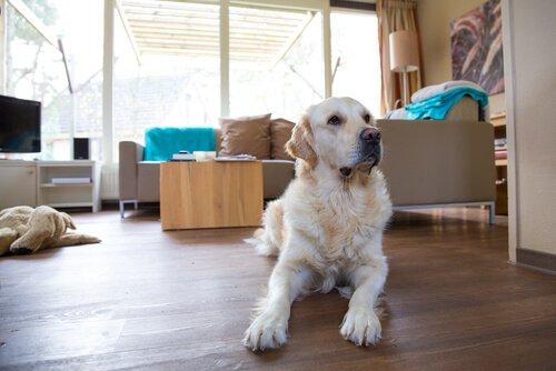 Hundehaare im Haus entfernen