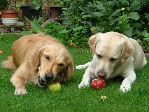 natürliche Ernährung von Hunden mit Äpfeln