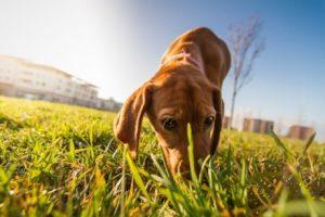 Spaziergang von Hund auf der Wiese