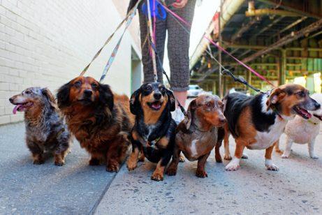 viele Hunde mit Hundegeschirr